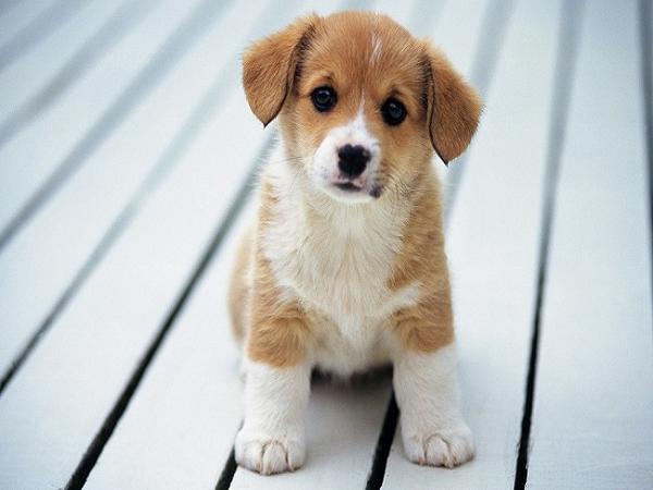 Mơ thấy chó con là điềm gì? báo mộng điềm lành hay dữ?