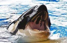 Giấc mơ thấy cá voi sát thủ là điềm báo trước gì?