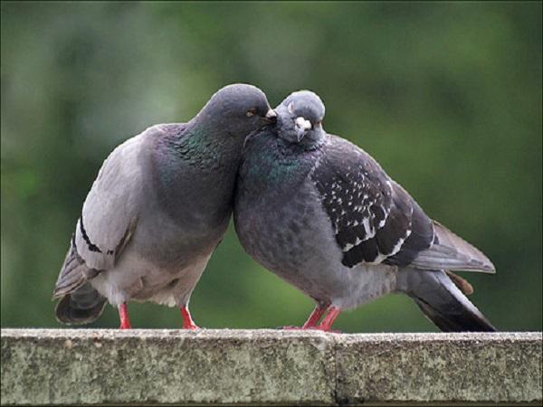 Mơ thấy chim bồ câu đánh con gì? Giải mã giấc mơ