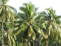 Mơ thấy cây dừa điềm báo điều gì
