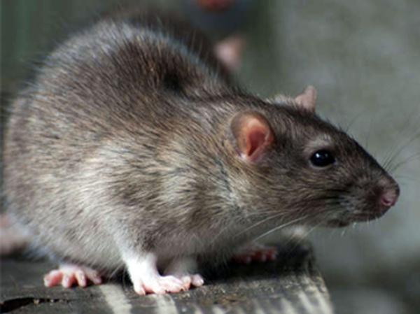 Nằm mơ thấy con chuột chơi xổ số con gì may mắn?
