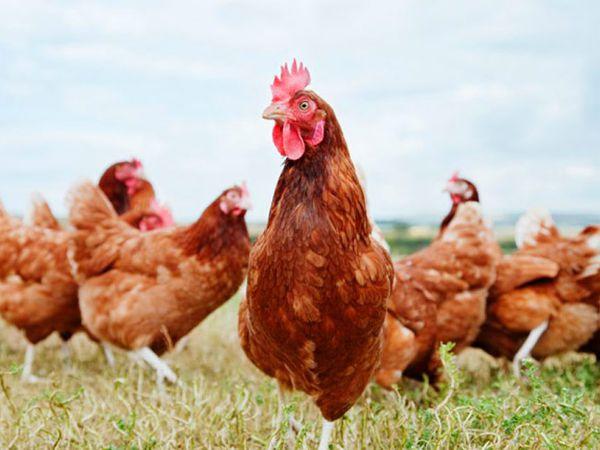 Nằm mơ thấy gà là điềm báo gì – Con gà là số mấy?