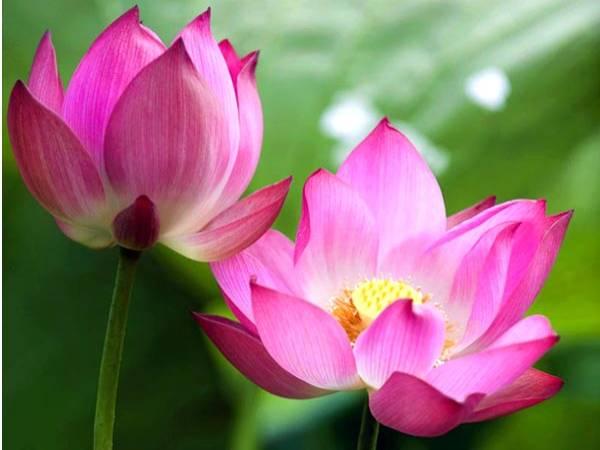 Chiêm bao mơ thấy hoa sen là điềm hên hay xui ? Đánh con gì ?