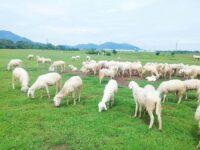 Giải mã giấc mơ thấy cừu đánh lô đề số nào chính xác?