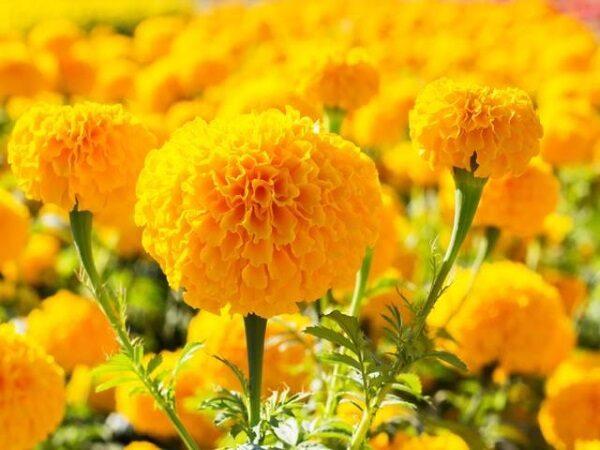 Mơ thấy hoa vạn thọ nở trong nhà đánh con gì?