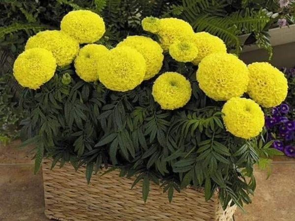 Mơ thấy hoa vạn thọ điềm báo tốt hay xấu?