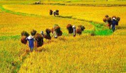 Giải mã giấc mơ thấy lúa mang ý nghĩa điềm báo trước gì
