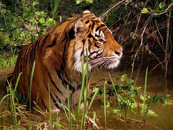 Nằm mơ thấy con hổ đánh xổ số con gì may mắn