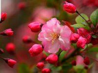 Tổng hợp ý nghĩa giấc mơ thấy hoa đào đánh con gì chính xác?