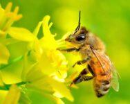 Nằm mơ thấy con ong là điềm báo gì? đánh số mấy đánh con gì