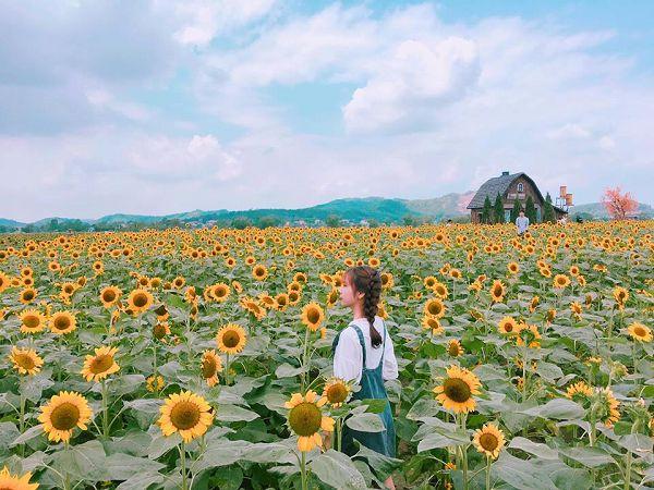 Mơ thấy hoa hướng dương điềm báo tốt hay xấu? Đánh con gì?