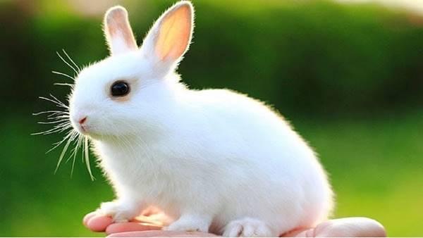 Nằm mơ thấy con thỏ trắng xác suất lớn về con mấy đánh lô đề con gì