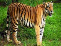 Nằm mơ thấy hổ là điềm lành hay dữ ? Đánh số mấy trúng ?