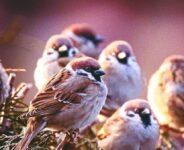 Giấc mơ thấy chim sẻ mang đến ngụ ý điềm báo gì? Đánh số mấy