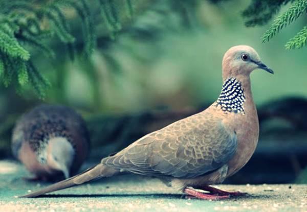 Giấcmơ thấy chim cu gáy mang điềm báo gì? Đánh số mấy