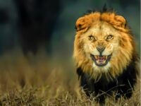 Giải mã giấc mơ thấy sư tử đánh lô số mấy? Là điềm gì ?